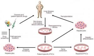 Gene Transcription in Fibroblasts